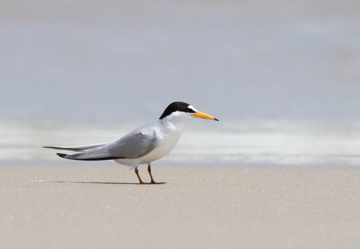 A Least Tern rests on the beach on Assateague Island, Maryland (5/14/2010). Photo by Bill Hubick.