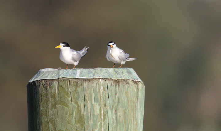 Least Terns return to the Choptank River in Caroline Co., Maryland (4/17/2010). Photo by Bill Hubick.
