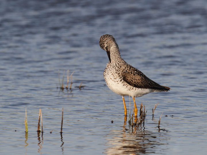 A Lesser Yellowlegs in Dorchester Co., Maryland (5/8/2010). Photo by Bill Hubick.