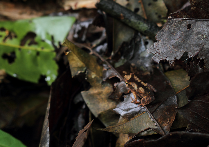 A Litter Toad (<em>Bufo typhonius</em>) in the Nusagandi area of Panama (August 2010). Photo by Bill Hubick.