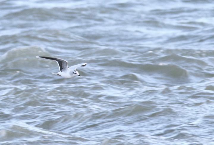 An adult Little Gull with Bonaparte's Gulls at the Ocean City Inlet, Maryland (12/5/2010). In addition to the diagnostic black underwings, note the structural differences, including daintier impression, smaller bill, and very rounded wings. The latter feature provides a different overall flight impression even at a distance. Photo by Bill Hubick.