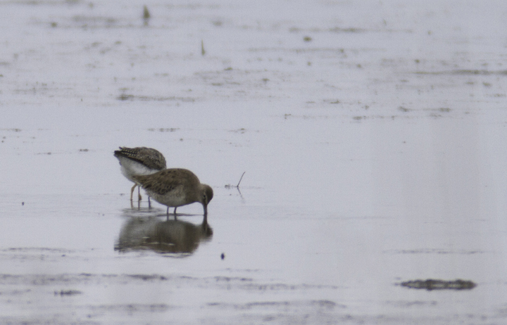 A documentation shot of a Long-billed Dowitcher found at Tanyard Marsh, Caroline Co., Maryland (3/27/2011). Photo by Bill Hubick.