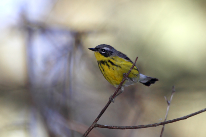 A Magnolia Warbler on Assateague Island, Maryland (5/14/2010). Photo by Bill Hubick.
