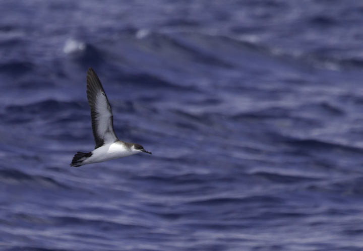 A Manx Shearwater is spotted in an area rich in <em>Sargassum</em> off Cape Hatteras, North Carolina (5/29/2011). Photo by Bill Hubick.