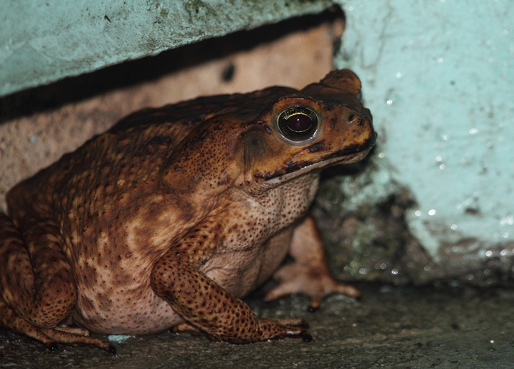 The enormous Marine Toad (aka Cane Toad) was common around Gamboa, Panama (August 2010). My friend Tom Feild poses for scale in one of our nightly walks. Photo by Bill Hubick.