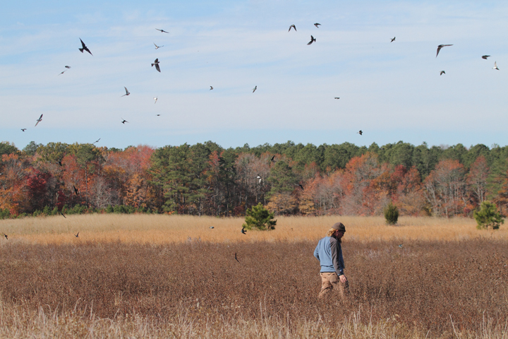 Matt Tillett and hundreds of Tree Swallows search a coastal Maryland field (11/14/2010). Photo by Bill Hubick.