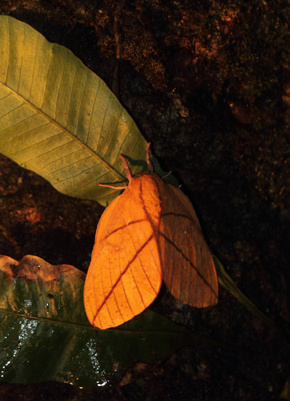 A large and attractive moth near El Valle, Panama (7/12/2010). Photo by Bill Hubick.