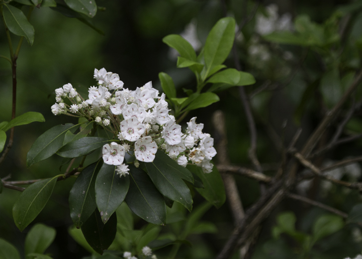 Mountain Laurel blooming in Garrett Co., Maryland (6/12/2011). Photo by Bill Hubick.