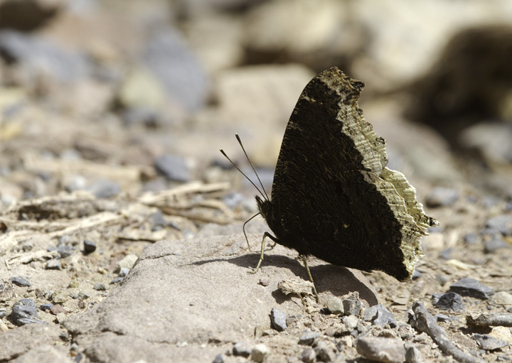 A Mourning Cloak in Green Ridge SF, Maryland (4/30/2011). Photo by Bill Hubick.
