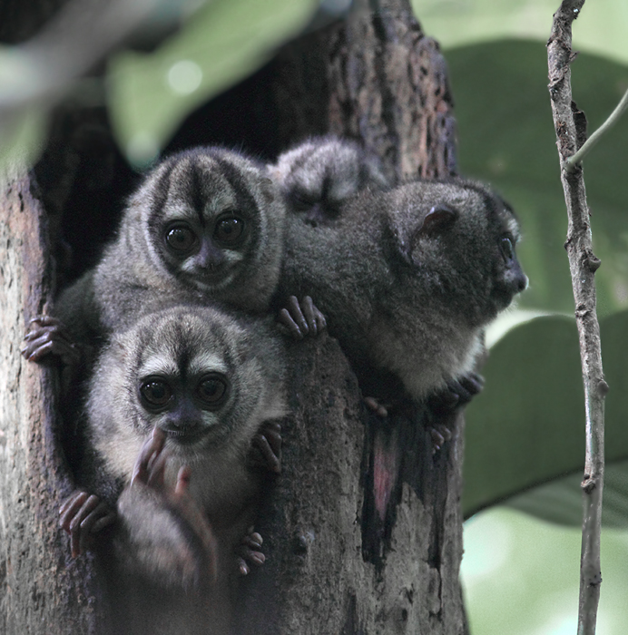 Night Monkeys! This family of Western Night Monkeys was undoubtedly one of the coolest things I have ever seen. Photo by Bill Hubick.