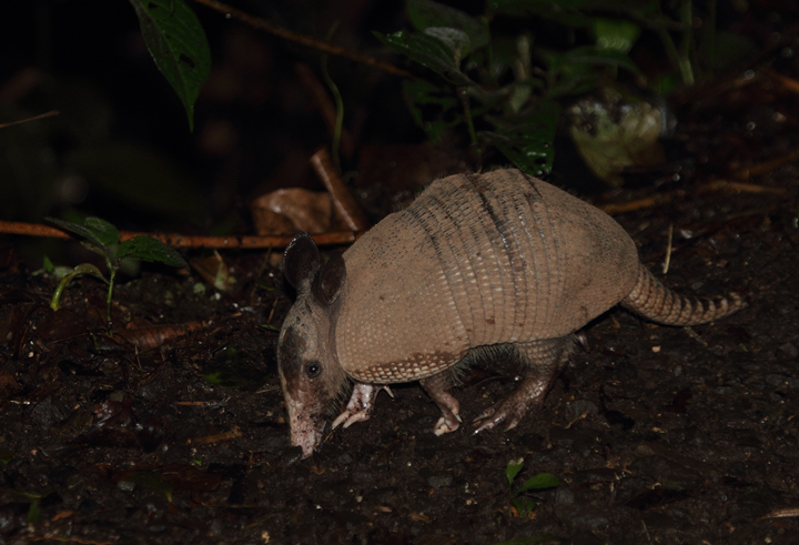 This Nine-banded Armadillo was so preoccupied in its roadside foraging that it approached quite closely before noticing us. I was crouched down quietly 8' away before it looked up and ran into the forest (Gamboa area, August 2010). Photo by Bill Hubick.
