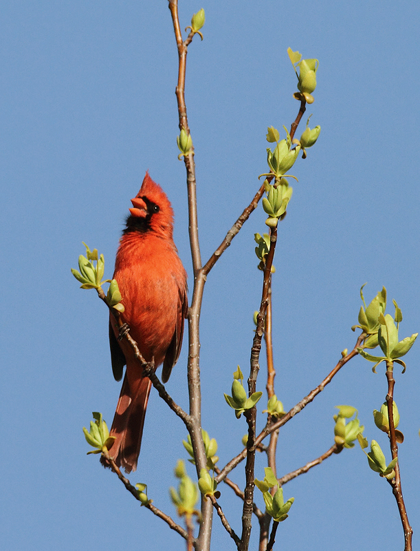A Northern Cardinal celebrates spring from a treetop on Elliott Island, Maryland (3/27/2010). Photo by Bill Hubick.