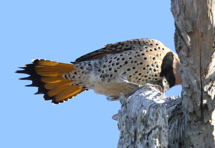 A male Northern Flicker in Somerset Co., Maryland (11/29/2009). The second image shows an undertail view that's difficult to mistake.