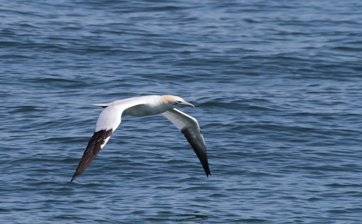 An adult Northern Gannet off of Ocean City, Maryland (3/20/2010). Photo by Bill Hubick.