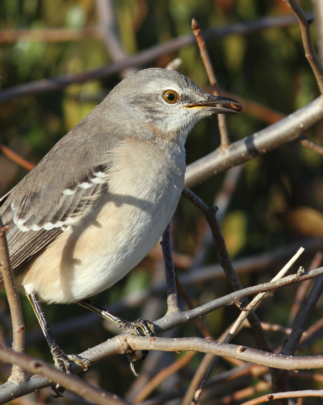 A Northern Mockingbird on Assateague Island, Maryland (11/12/2010). Photo by Bill Hubick.
