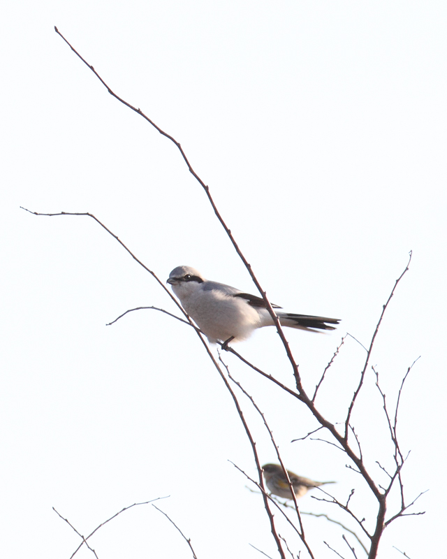 A Northern Shrike on Assateague Island, Maryland (12/5/2010). Found on the Rarity Roundup (11/13) by Mike Walsh and Ron Gutberlet and continuing over a large area around Bayside Campground. Photo by Bill Hubick.