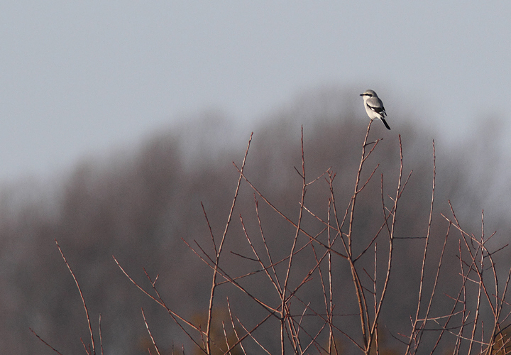 The continuing Northern Shrike at Chino Farms in Queen Anne's Co., Maryland (12/24/2009).