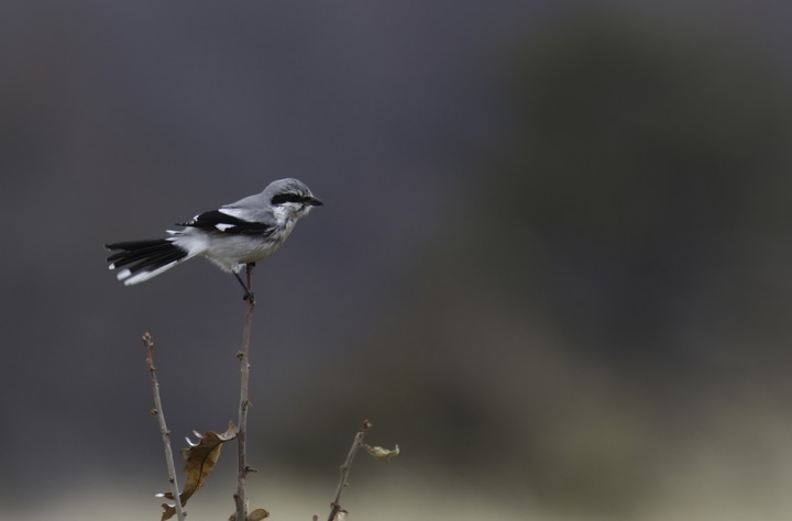 The Chino Farms Northern Shrike permits a brief photo shoot on a rainy March morning (3/6/2011). Photo by Bill Hubick.