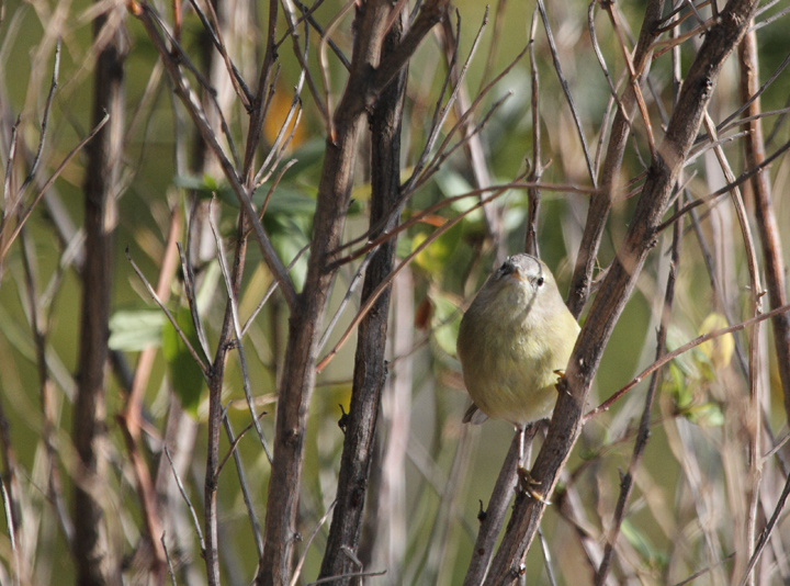 One of two Orange-crowned Warblers found near Ocean City, Maryland (12/5/2010). Photo by Bill Hubick.