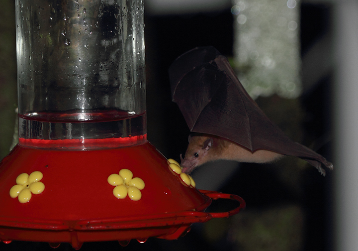 An Orange Nectar Bat ensures that all hummingbird feeders are empty at dawn - near El Valle, Panama (7/11/2010). Photo by Bill Hubick.