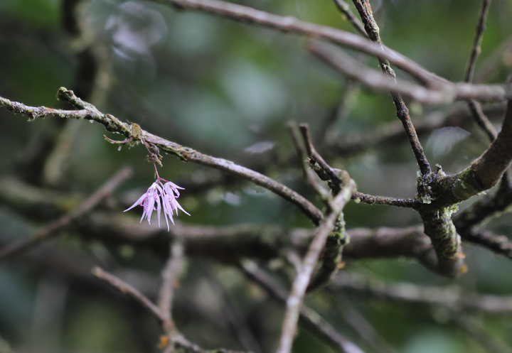 A tiny orchid blooming in a tree at Las Mozas, Panama (7/11/2010). Photo by Bill Hubick.