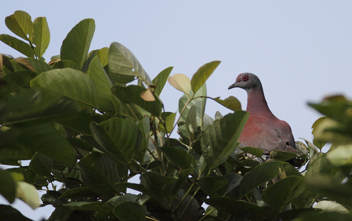 A Pale-vented Pigeon nearly avoids detection (Gamboa, Panama, July 2010). Photo by Bill Hubick.