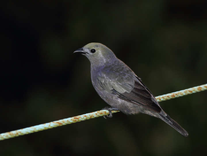 This Palm Tanager and its mate were nesting at the Canopy Tower. The subtle beauty of this ubiquitous rainforest species is certainly underappreciated. (Gamboa, August 2010) Photo by Bill Hubick.