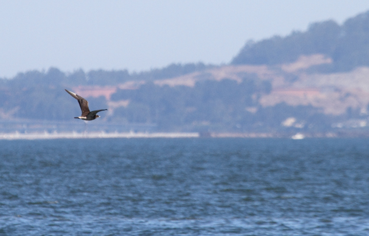 Juvenile Parasitic Jaegers over San Francisco Bay, California (9/24/2010). Photo by Bill Hubick.