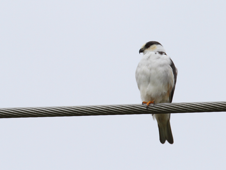 A Pearl Kite near Chepo, Panama (7/10/2010). Photo by Bill Hubick.