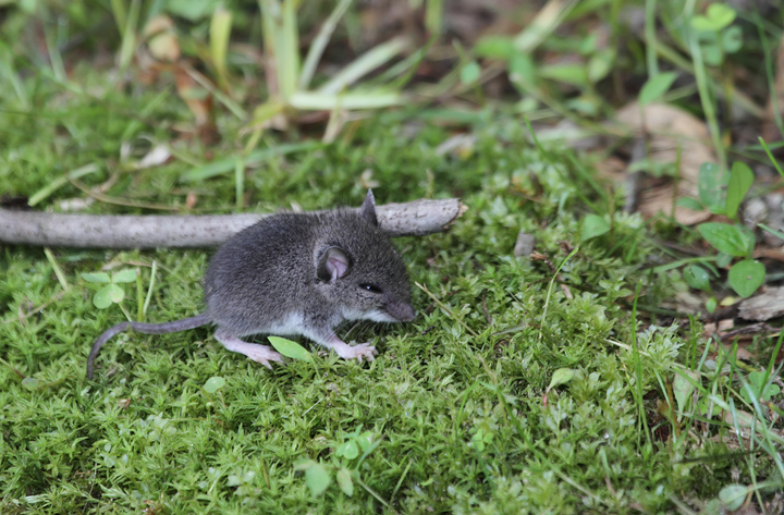 A young <em>Peromyscus</em> mouse, probably White-footed Mouse, in Cecil Co., Maryland  Photo by Bill Hubick.