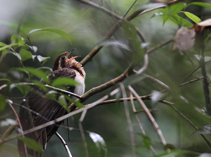 "A personal favorite, one of the more difficult species to see in the Panamanian rainforest, the Pheasant Cuckoo. My friend Tom Feild has heard it called ""Ghost of the Squirrel Cuckoo"". (Panama, July 2010) Photo by Bill Hubick."