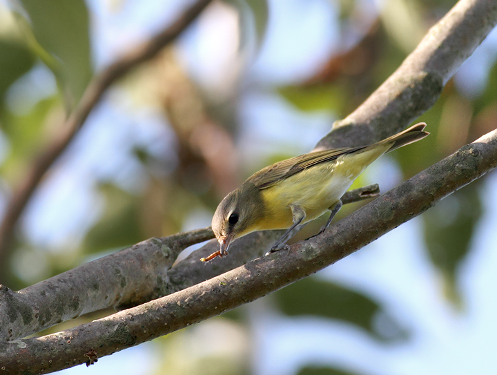 A Philadelphia Vireo in Howard Co., Maryland (9/19/2010). Photo by Bill Hubick.
