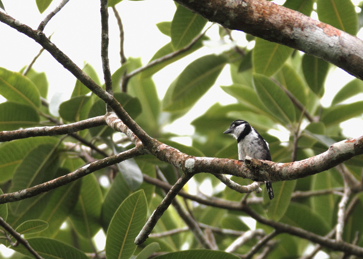 "The Pied Puffbird is the smallest of the local puffbirds. At least one local birder nicknamed it ""Puffito"" (slang for little puffbird). (Gamboa area, Panama, August 2010). Photo by Bill Hubick."