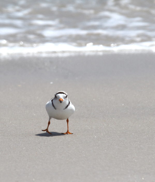 A Piping Plover feeds in the surf on Assateague Island, Maryland (5/14/2010). Photo by Bill Hubick.