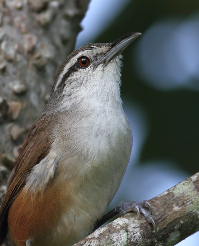 An unusually cooperative Plain Wren poses for a brief photo shoot (Panama, July 2010). Photo by Bill Hubick.
