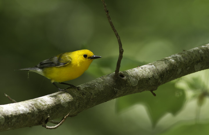A Prothonotary Warbler in Worcester Co., Maryland (5/11/2011). Photo by Bill Hubick.