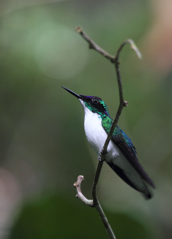 A male Purple-crowned Fairy, one of the most beautiful hummingbirds, poses for photos (Nusagandi, July 2010).   Photo by Bill Hubick.