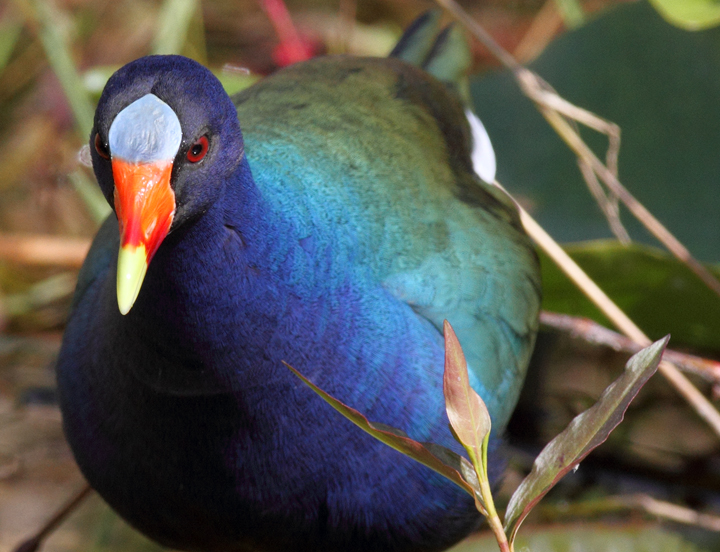 Above and below: An adult Purple Gallinule in the Everglades (2/26/2010). Photo by Bill Hubick.