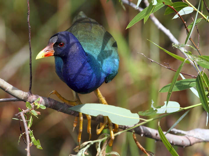 OK, I can't resist including some more Purple Gallinule images. Another individual foraging on willow buds in the Everglades. Photo by Bill Hubick.