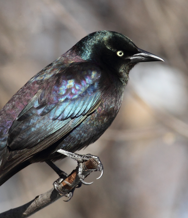 The first three images show our year-round subspecies, Purple Grackle (<em>Q. q. stonei</em>). Note the green iridescence on the head and extensive purple on the back and belly. The overall iridescence often looks rainbow-colored.