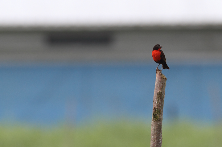 A Red-breasted Blackbird near Canita, Panama (7/10/2010). Photo by Bill Hubick.