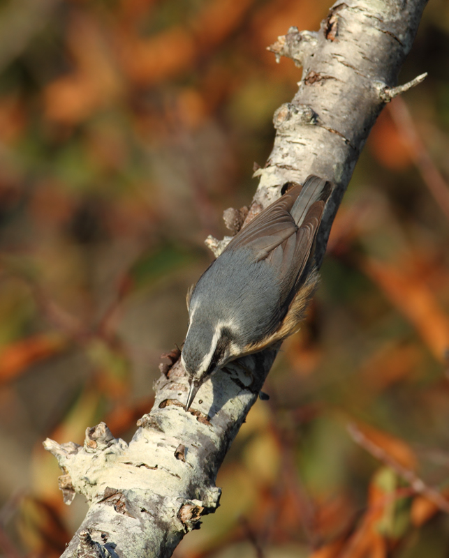 Several of the many Red-breasted Nuthatches enjoying the pines along Assateague Island's dunes (11/11/2010). Photo by Bill Hubick.