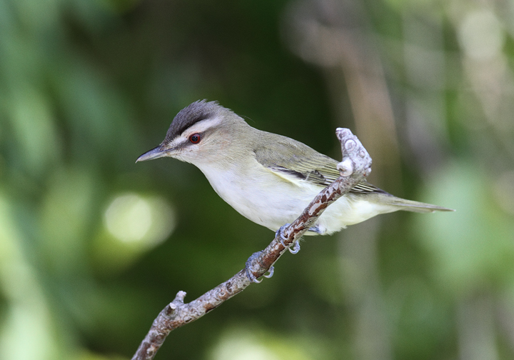 A Red-eyed Vireo on Assateague Island, Maryland (5/14/2010). If you look closely at the bird's nape, you can see a filoplume, one of the ultra-fine, hairlike feathers that presumably send birds messages regarding feather positioning. Photo by Bill Hubick.
