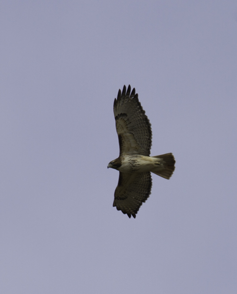 A Red-tailed Hawk soars over Millington WMA, Maryland (2/20/2011). Photo by Bill Hubick.