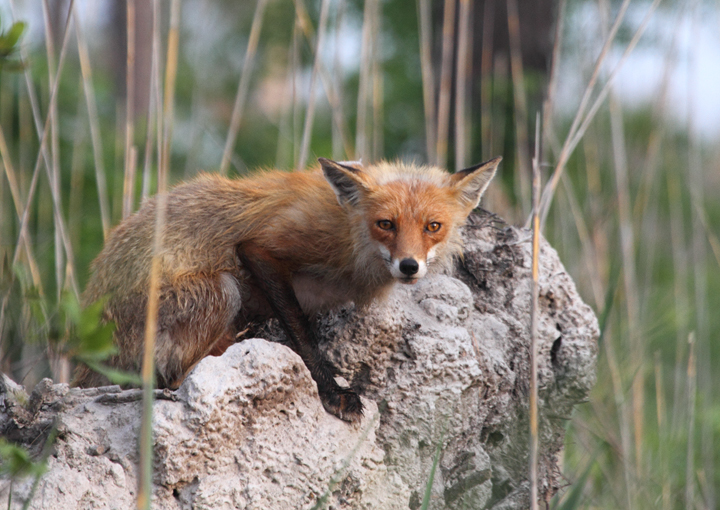 A Red Fox eyes us suspiciously from a dirt mound (Dorchester Co., 5/8/2010). Photo by Bill Hubick.