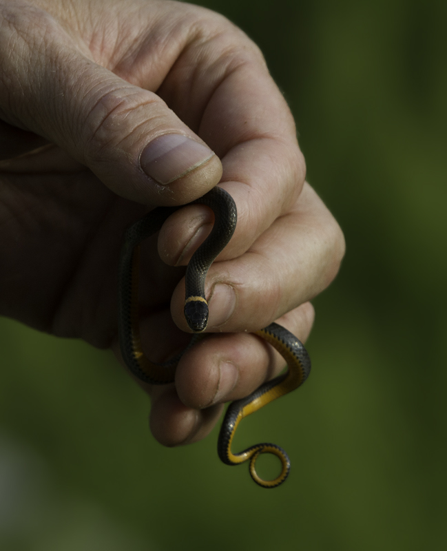 A second Ring-necked Snake nearby in Garrett Co., Maryland (6/12/2011). Photo by Bill Hubick.