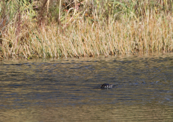 A River Otter in a small pond in West Ocean City, Maryland (11/13/2010).<br /> My first photos of this species, which has always been one of my favorites. Photo by Bill Hubick.