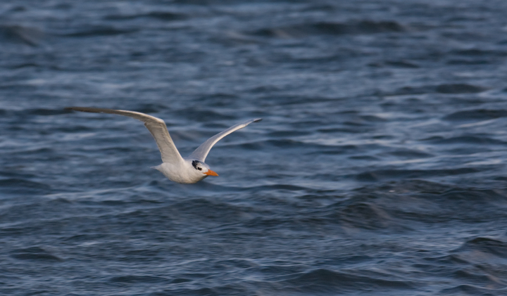 Royal Tern at Bayside Assateague, Maryland (9/26/2009).