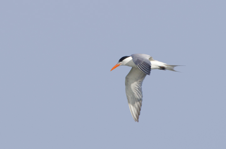 An adult Royal Tern near Ocean City, Maryland (6/26/2011). Like most of its kind in Maryland, you can see the band on its leg that was affixed at its breeding colony - an important part of their monitoring and conservation. Photo by Bill Hubick.