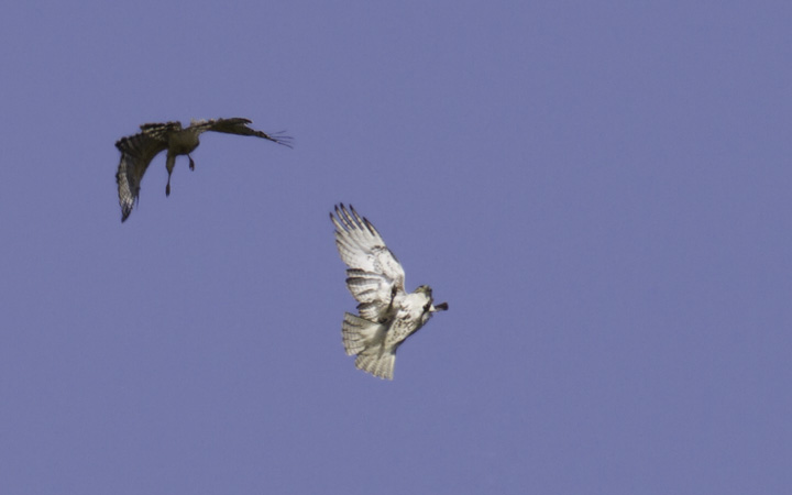 A Red-shouldered Hawk drives off an intruding Red-tailed Hawk - Montgomery Co., Maryland (4/17/2011). Photo by Bill Hubick.